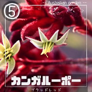【カンガルーポー⑤】クリムゾンレッド 種子10粒 アニゴザントス(その他)