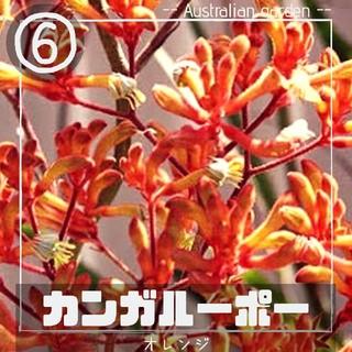 【カンガルーポー⑥】オレンジ 種子10粒 アニゴザントス(その他)