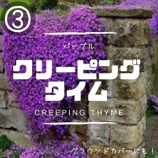 【クリーピングタイム③】パープル種子20粒 グラウンドカバー、花壇の縁取に!(その他)