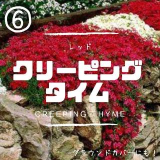 【クリーピングタイム⑥】レッド種子20粒 グラウンドカバー、花壇の縁取に!(その他)