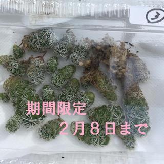 期間限定❗️多肉植物 サボテン マミラリア 銀手毬 葉挿し3 ≪2月8日まで≫(その他)