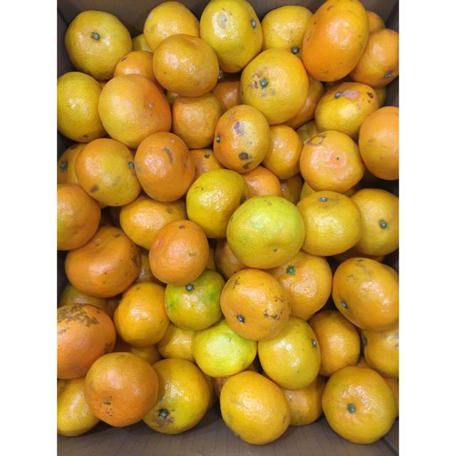和歌山県 傷あり訳ありみかん約10kg 食品/飲料/酒の食品(フルーツ)の商品写真