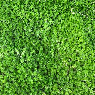 緑の絨毯( •ᴗ•)*♪多肉植物☆セダム☆抜き苗(その他)