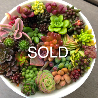 多肉植物カット苗人気種ジェットバース、グリーンペット、茜の塔錦、ボルケンシー錦(その他)