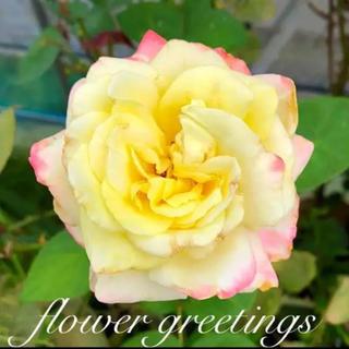 モダンローズ 四季咲き 挿し穂 カット苗 3本 芳香 色が変わります(その他)