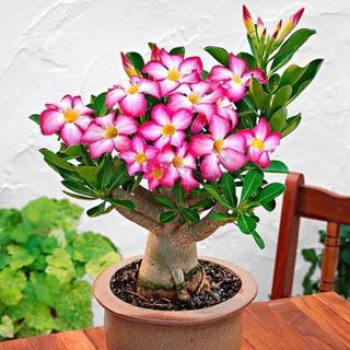 1400円 砂漠の薔薇 アデニウム オベスム  の種10粒と土2杯セット多肉植物(その他)