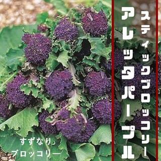 レア!すずなりブロッコリー【アレッタパープル】スティックブロッコリー 種子10粒(その他)