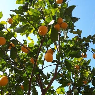 最後の1箱  国産無農薬  レモン  5kg 送料無料(フルーツ)