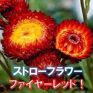 【ムギワラギク】ファイヤーレッド ストローフラワー 種子30粒 貝細工(その他)