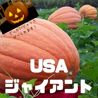 巨大野菜【USAジャイアント】種子3粒 カボチャ(その他)