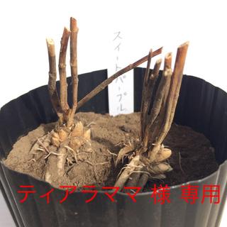 ティアラママ様専用◇ 紫アスパラ 苗2本入り 2セット(野菜)