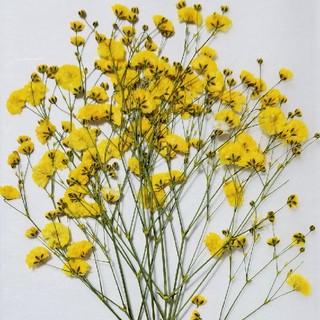 カスミソウ押し花花材②イエローカラー(ドライフラワー)