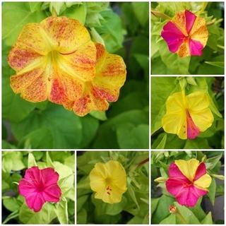 春まき花の種 「オシロイバナ イエロー系とピンク系の混合種を30粒」(その他)