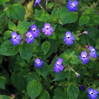 春まき花の種 「ブロワリアの種100粒」(その他)