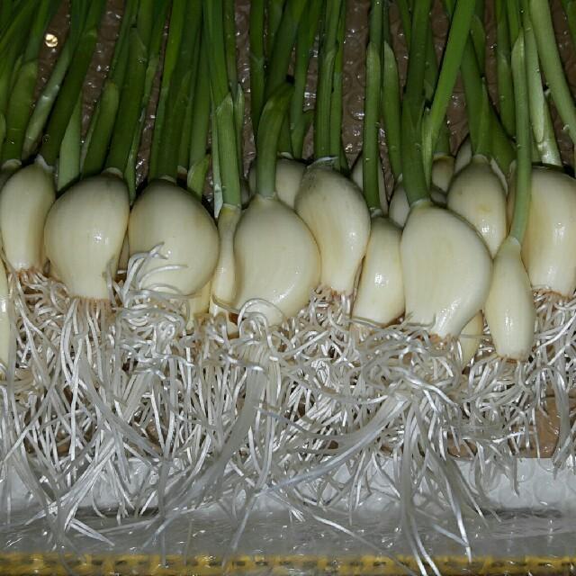無農薬栽培にんにくスプラウト200g30本~35本 食品/飲料/酒の食品(野菜)の商品写真
