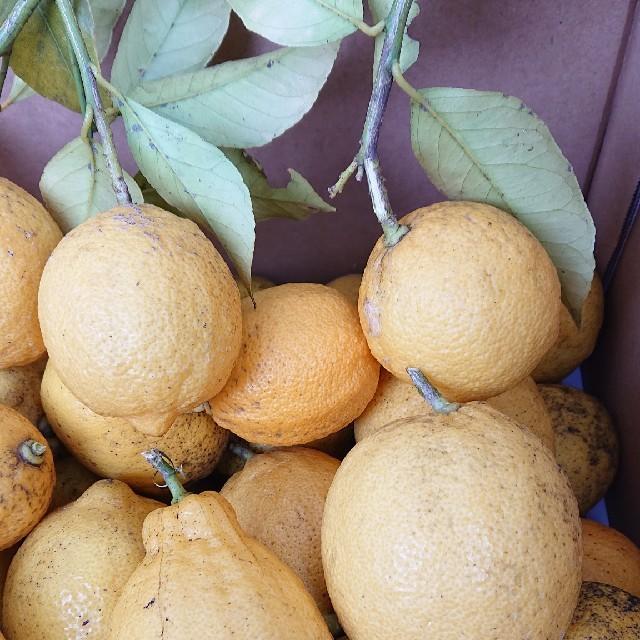 自家製 無農薬レモン 食品/飲料/酒の食品(野菜)の商品写真