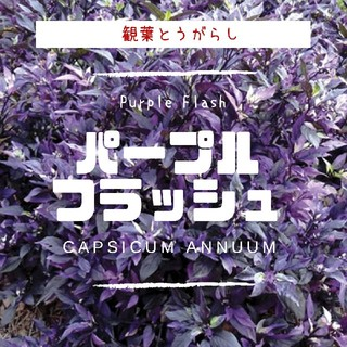 観葉トウガラシ【パープルフラッシュ】種子20粒(その他)
