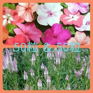 インパチェンス花種mix50粒&野ケイトウ花種50粒(ドライフラワー)