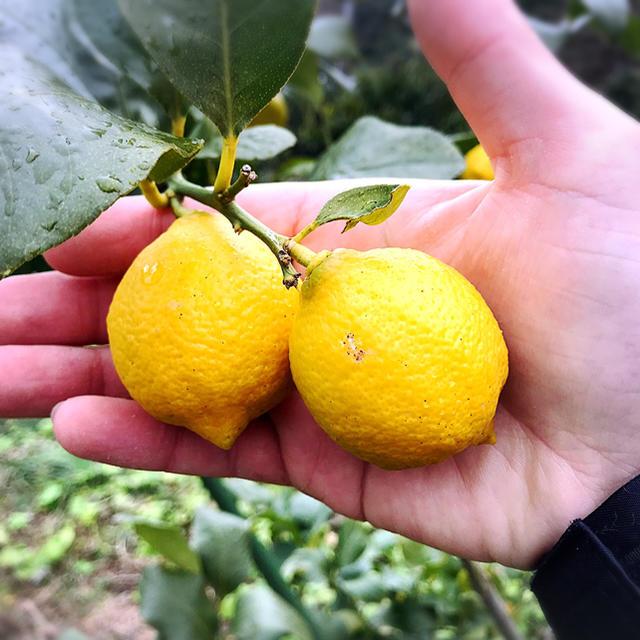 【熱海産♨農薬不使用】日本レモン発祥の地「熱海」ミニレモン約500g 食品/飲料/酒の食品(フルーツ)の商品写真