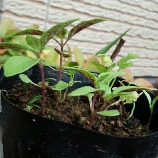 ホーリーバジルの種 約200粒 トゥルシー(野菜)