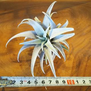 チランジア カピタータイエロースター  綺麗な銀葉種です‼️(その他)