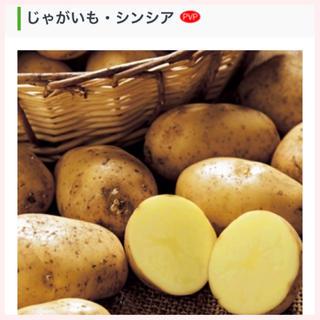 ★1名様限定★じゃがいもの種芋「シンシア」3個セット(野菜)