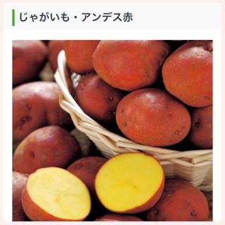 ★1名様限定★じゃがいもの種芋「アンデス赤」3個セット(野菜)