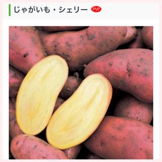 ★1名様限定★じゃがいもの種芋「シェリー」3個セット(野菜)