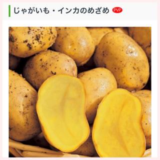 ★1名様限定★じゃがいもの種芋「インカのめざめ」3個セット(野菜)