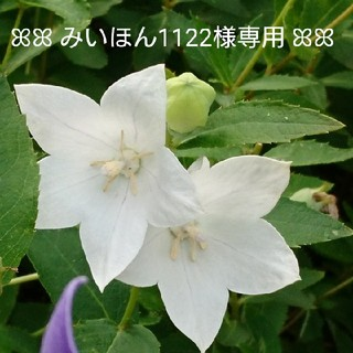 【みいほん様専用】☆ふわふわミモザの春色スワッグ☆(ドライフラワー)