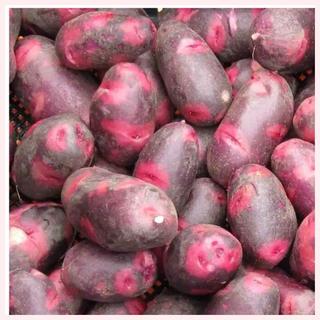 ★1名様限定★じゃがいもの種芋「デストロイヤー」3個セット(野菜)