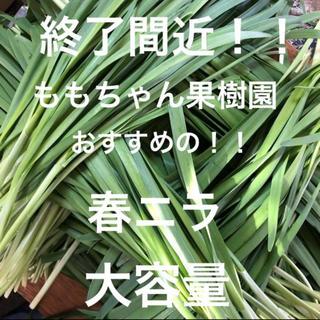 新鮮野菜 無農薬 ハウス栽培の春ニラ 即購入可能!とにかく柔らかい甘い!終了間近
