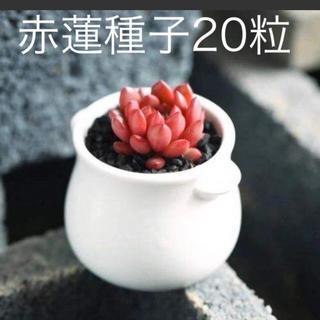 多肉植物赤蓮種子20粒(その他)