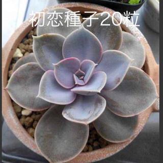 多肉植物初恋種子20粒 (その他)