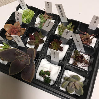 多肉植物 カット苗❣️セット(その他)