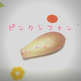 aya様専用♥ピンクシフォン葉挿し2枚♥多肉植物(その他)