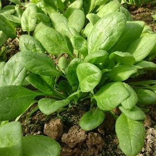 無農薬 ほうれん草 60サイズ(野菜)