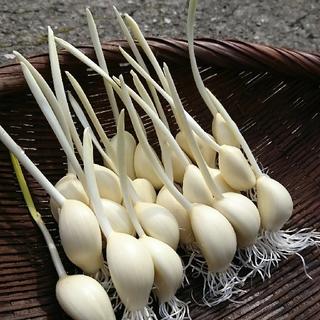 大分県産 スプラウトにんにく 30本オマケ5本(野菜)
