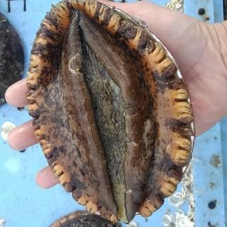 活黒アワビ 1kg(3~5枚) 漁師直送(魚介)