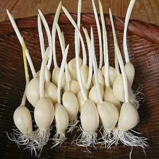 大分県産 スプラウトにんにく 50本オマケ5本(野菜)