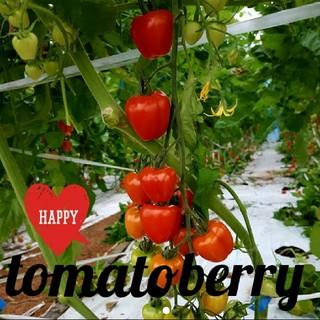 トマトベリー800g1箱(野菜)