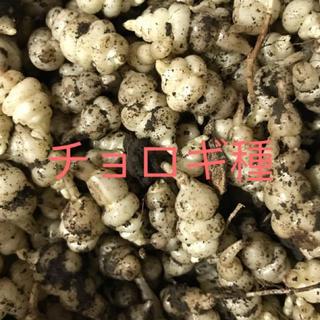 チョロギ 種(野菜)