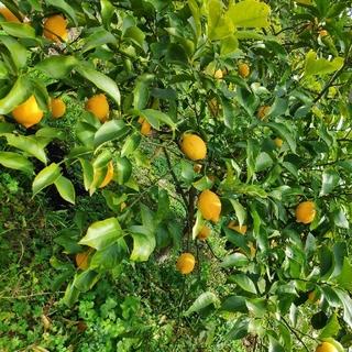 広島県産無農薬レモン1kg(フルーツ)