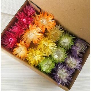 花材  シルバーデイジー 5色(ドライフラワー)