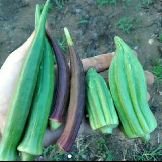 オクラの種子 ダビデの星20粒 赤オクラ10粒 白オクラ少量(野菜)