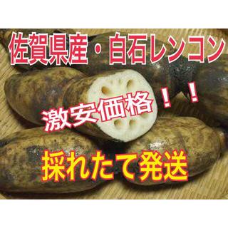 佐賀県産れんこん・糸引き白石レンコン(野菜)