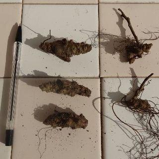 オカワカメ(雲南百薬)球根(大)3個と根茎2個(一度植えると生涯収穫!)(野菜)