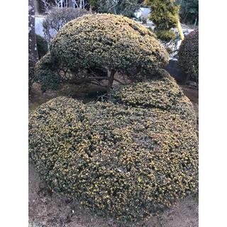 きんきゃら 庭木(その他)