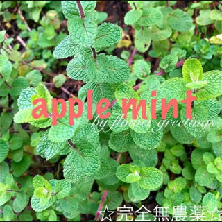 アップルミント 抜き苗 春苗 10本  完全無農薬(その他)
