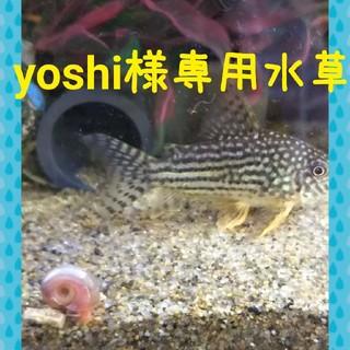 yoshi様専用水草(アクアリウム)
